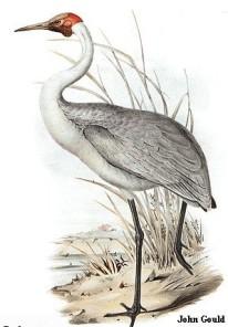 Το πουλί γερανός σε πίνακα του John Gould (1804-81)